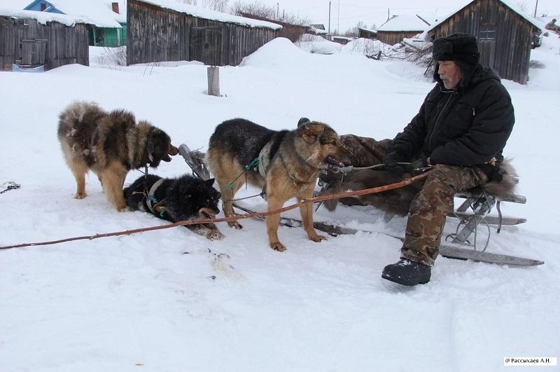 Илья Федорович Рокин и его собачья упряжка